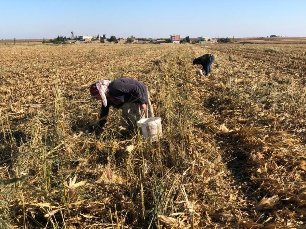 Kızıltepe'de kadınlar boş mısır koçanını yakacak olarak kullanıyor