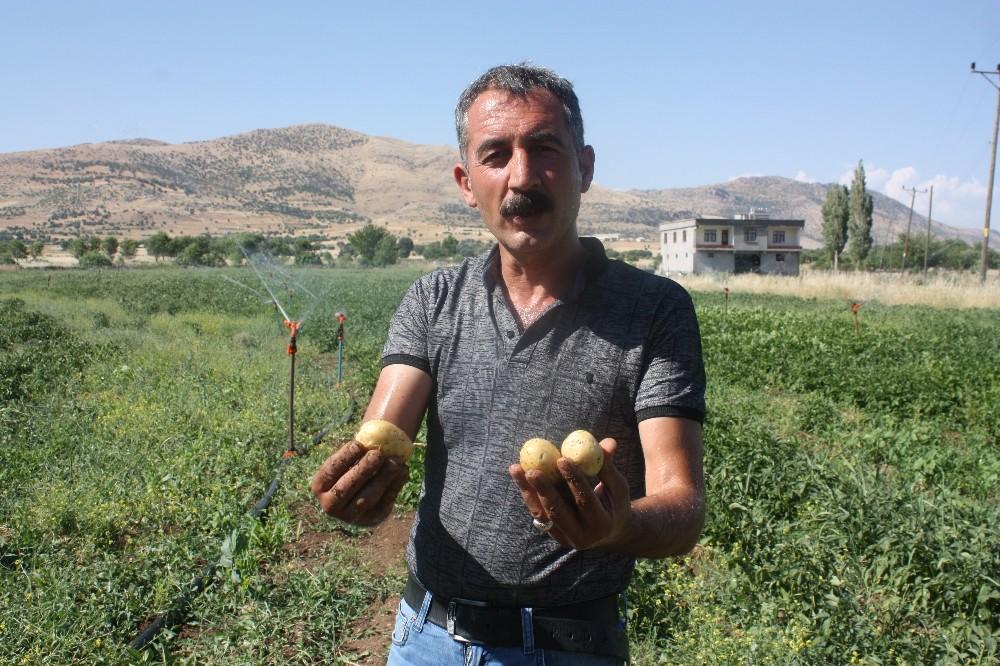 Patates fiyatlarına kızdı, kiraladığı tarlaya patates ekti