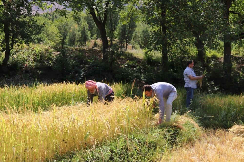 Hizan'da imece usulü çeltik hasadı